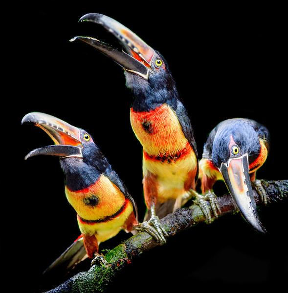 Three collared aracari sitting on a branch next to each other