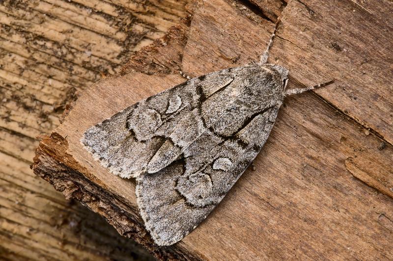 Radcliffe's Dagger Moth