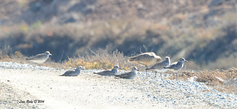 Black-Bellied Plovers and ? - 1/18/2014 - Salt Works