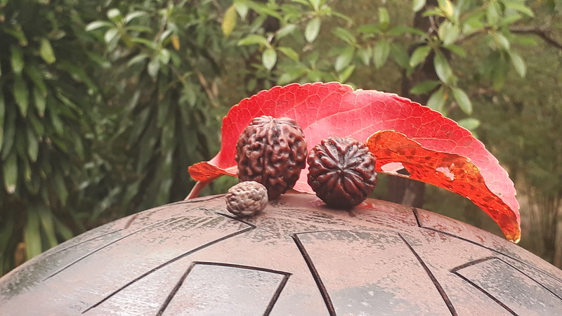 South Giants, pair of 3 and 4 mukhi, small Rudraksha for size comparison