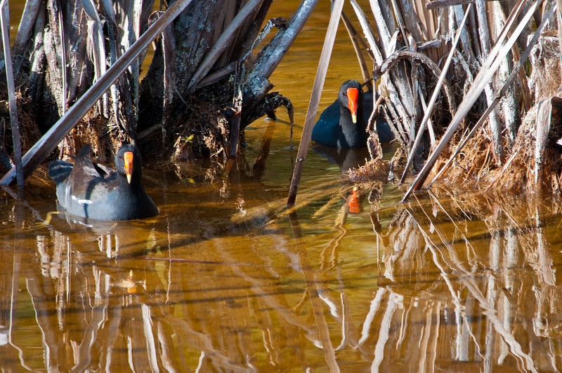Common Gallinule pair at Ding Darling Bailey Tract