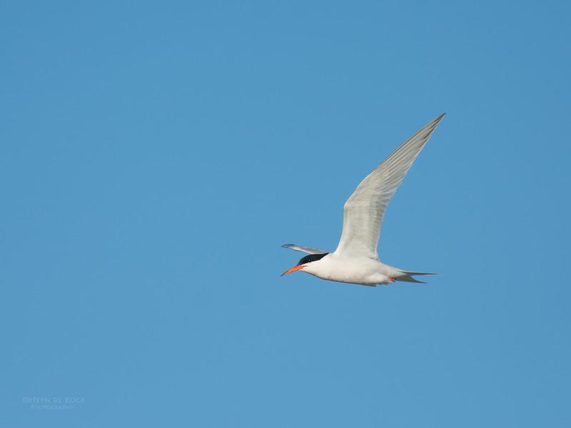 Roseate Tern, Lady Elliot Island, QLD, Dec 2015-16.jpg