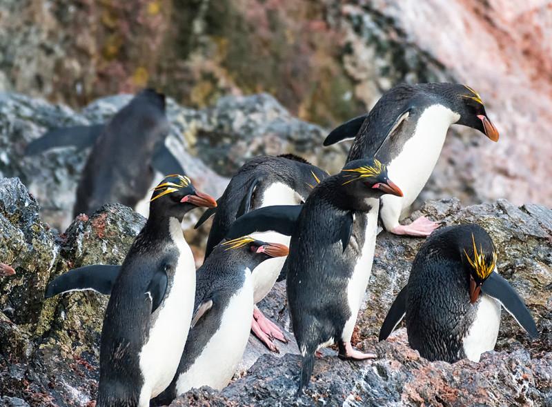 Penguins_Macaroni_Elsehul-4.jpg