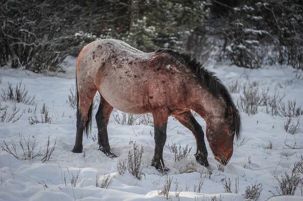 11 2013 Nov 18 Alberta Wild Horses On The Run*^