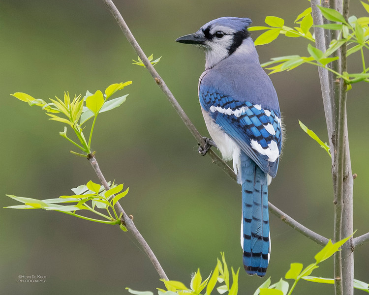 Blue Jay, Standing Bear Lake, NE, USA, May 2018-1a.jpg