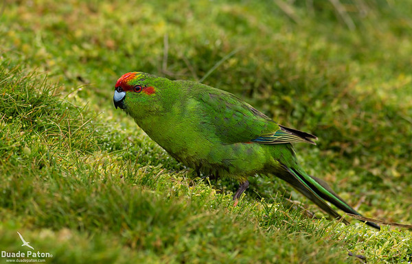 Red-crowned Parakeet (NZ)