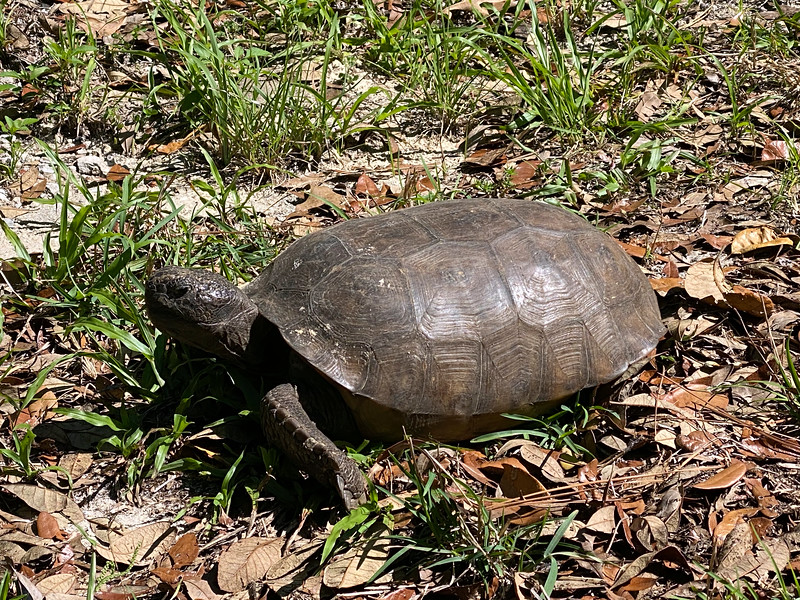 1_6_21 Gopher Tortoise SHELL-ters In Place.jpg