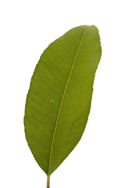 lemon myrtle leaf 8p.jpg