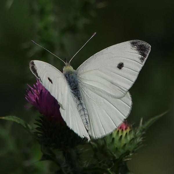 Cabbage White, male
