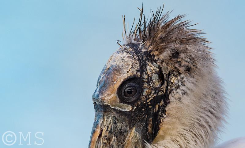 Wood Stork Image Gallery