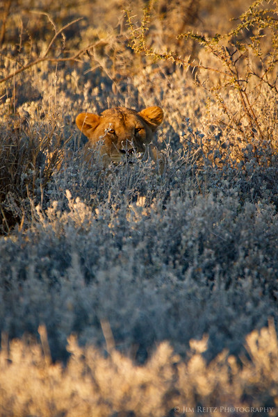 Hiding herself in the brush, this lion sneaks ever closer to the unsuspecting zebra. Etosha National Park, Namibia.