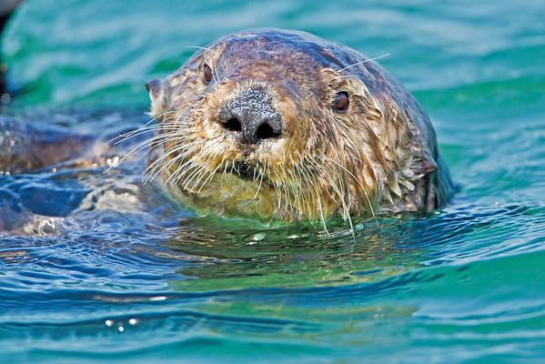 Sea Otters, Seals & Sea Lions... Elkhorn Slough April 2012.