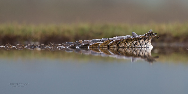 Nile Crocodile, Zimanga, South Africa, May 2017-2.jpg