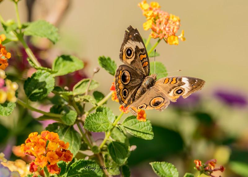 Butterfly 1 DSC_3366.jpg