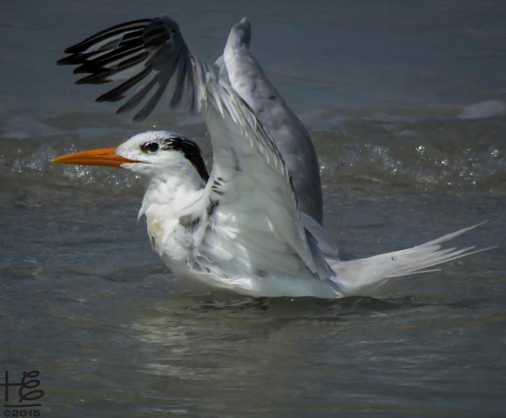 A tern finishes his bath