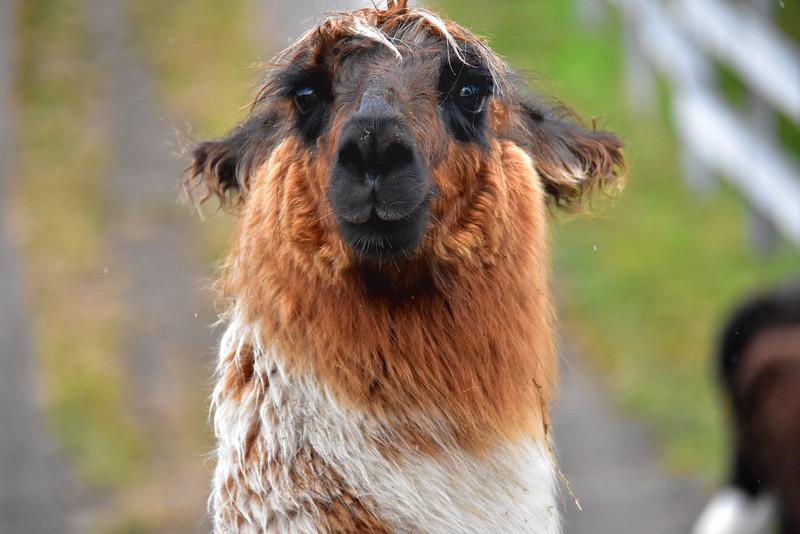 2016 P Varas Llamas full face brown face.jpg