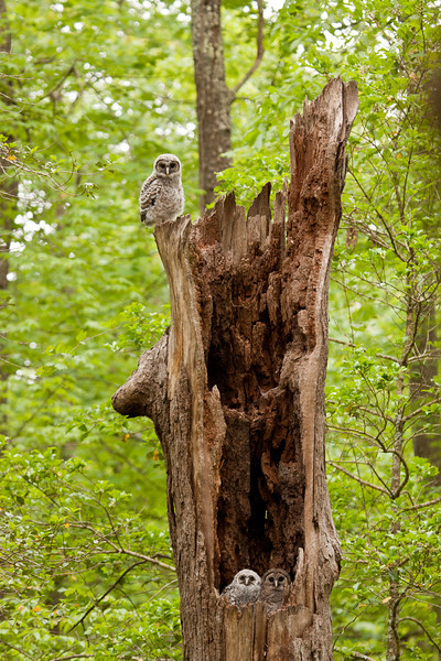 Barred owl nestlings in oak snag