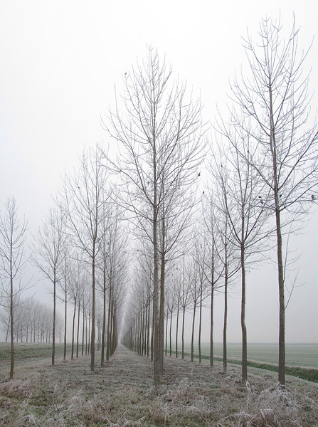 Poplars - Sant'Agata Bolognese, Bologna, Italy - December 16, 2010
