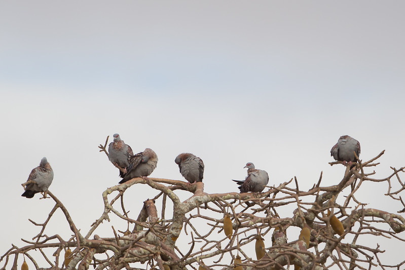 Speckled Pigeon - Record - Tarangire National Park, Tanzania