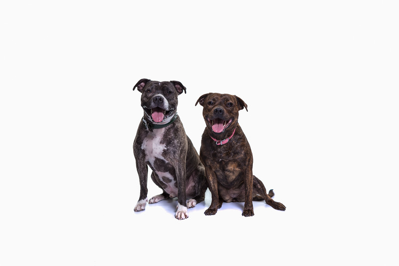 edinburgh dog photography studio staffies