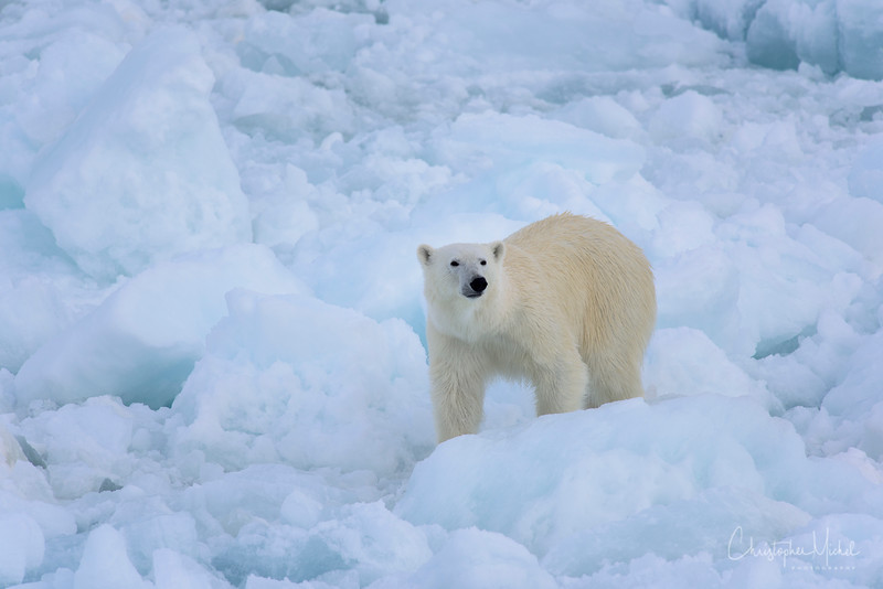 Polar Bear on Ice near ship.jpg