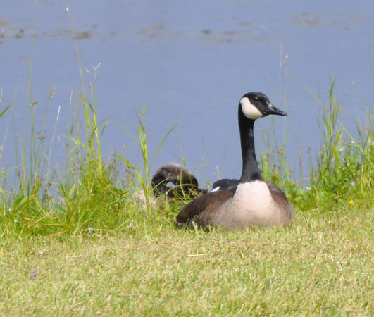 geese and babys