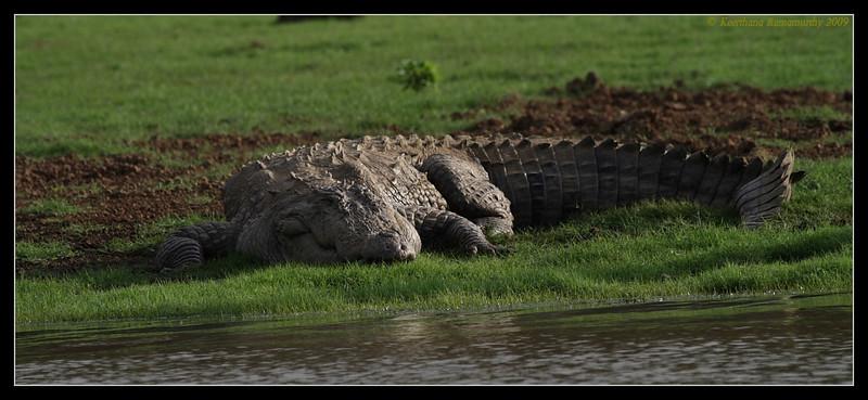 Crocodile, Kabini, Mysore, Karnataka, India, June 2009