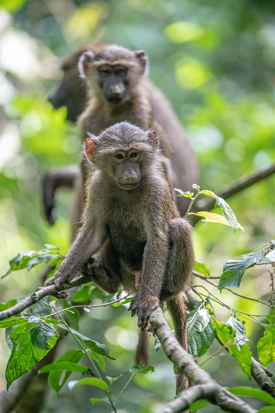 Uganda_T_Chimps-1528.jpg