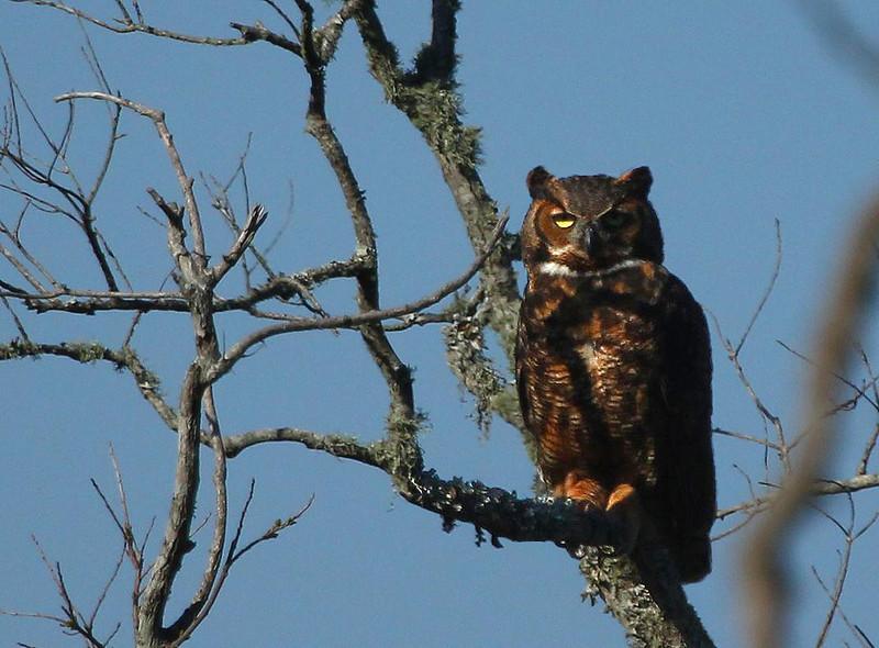 Great Horned Owl, Texas Ornithological Society Sanctuary, High Island, Texas March 15, 2011.