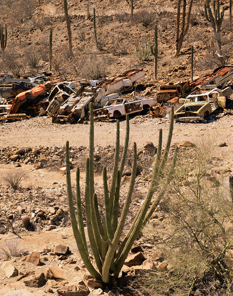 Baja California Sur, MEX/Desert dumping near Mulege. Organpipe (Cereus thurberi) and cardon cactus (Pachycereus pringlei) amid junk cars. 290v                           ada