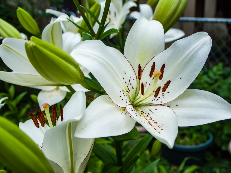 white lillies_20170709-4474.jpg