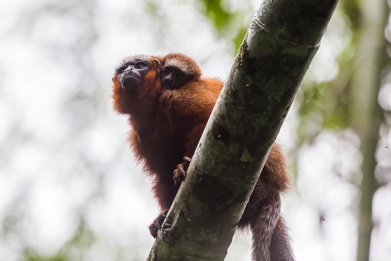 Napo Wildlife Center - Dusky Titi Monkey - Lina Stock