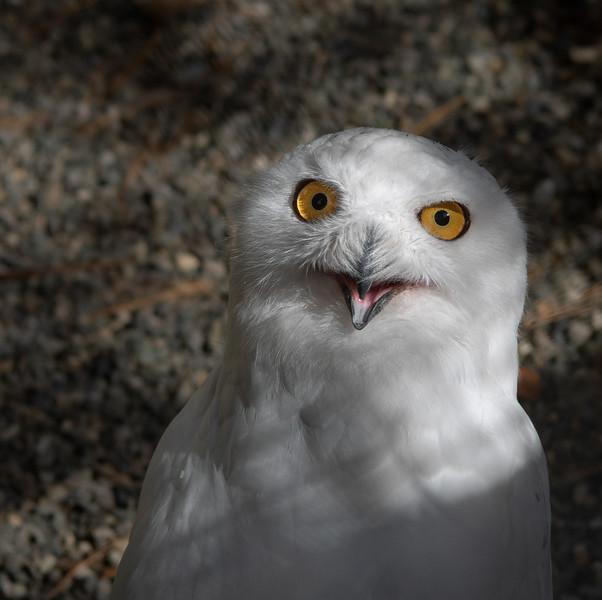 """Snowy Owl """"Laguardia"""" at VINS"""