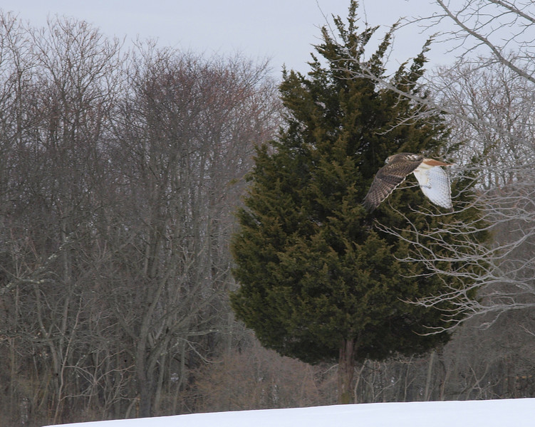 red tailed hawk2.jpg