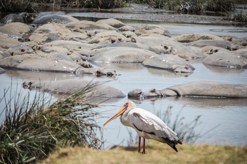 One Stork In Hippo Pool