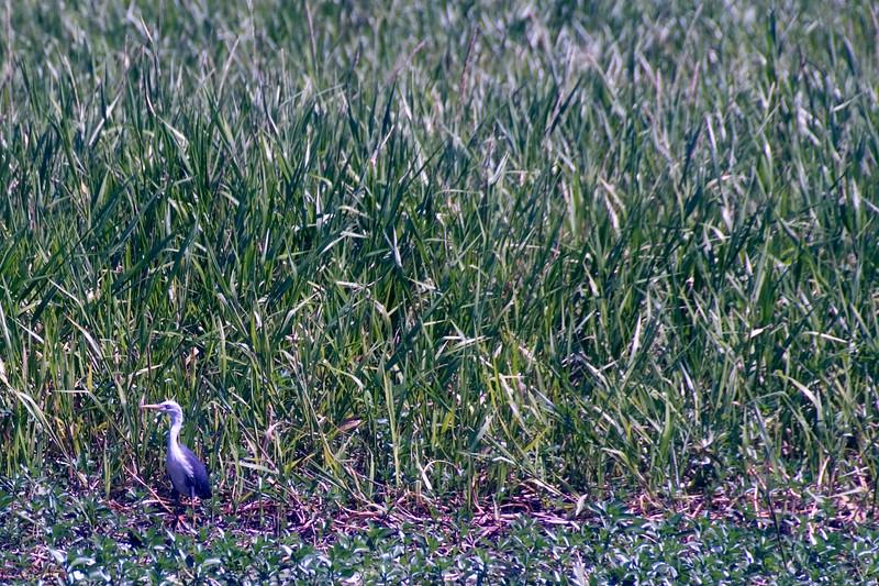 Bird in Grass, Alligator River, Kakadu National Park - Northern Territory, Australia