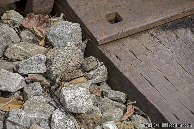 Killdeer-fledgling-justoutofnest-hiding-railroad-tracks.jpg