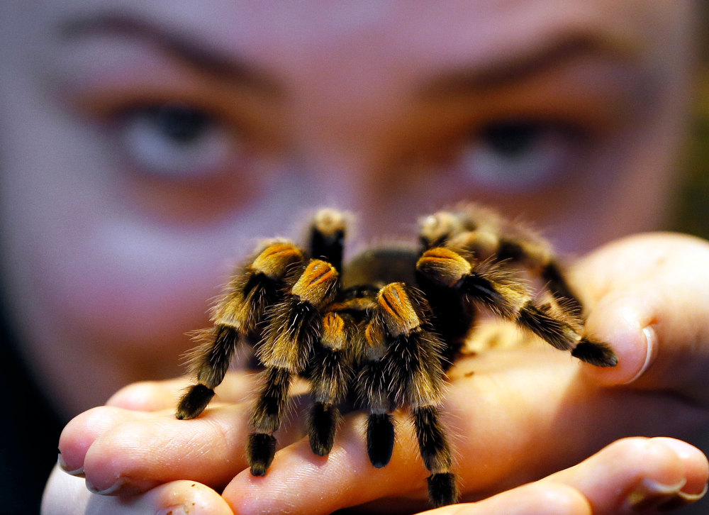 Description of . Kepper Amy Callaghan takes a close look at Jill the Red Kneed Spider during the annual stocktake at London Zoo, Thursday, Jan. 3, 2013. More than 17,500 animals including birds, fish, mammals, reptiles and amphibians are counted in the annual stocktake at the zoo. (AP Photo/Kirsty Wigglesworth)