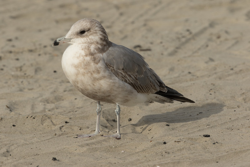 California  Gull Ponto Beach 2016 12 09-2.CR2