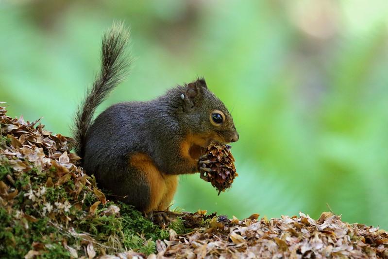 Douglas squirrel – Tamiasciurus douglasii.jpg