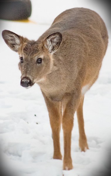 Deer, Moose, and Elk Archive
