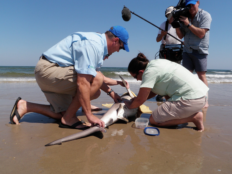 Dr. Greg Stunz, HRI Endowed Chair of Fisheries and Ocean Health and Director of the Center for Sportfish Science and Conservation (CSSC), tagging shark.jpg