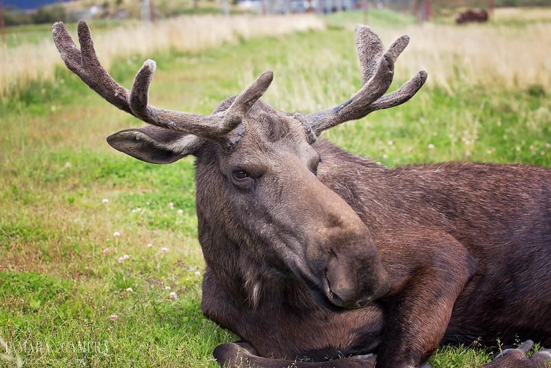 Moose6-6-2.jpg