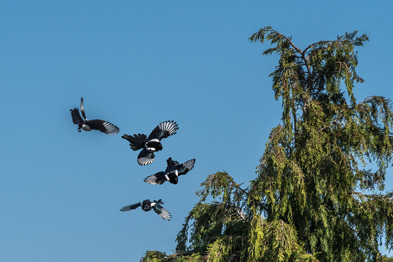 Magpie catching insect-3755.jpg