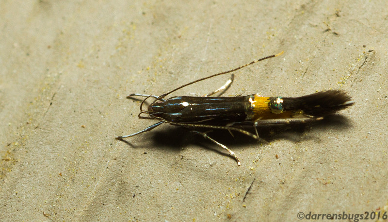Cosmet moth (Cosmopterix sp.) from Iowa.