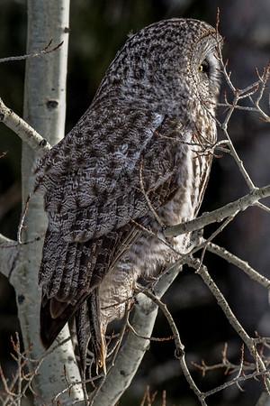 4-3-18 Great Gray Owls - Evening Shift