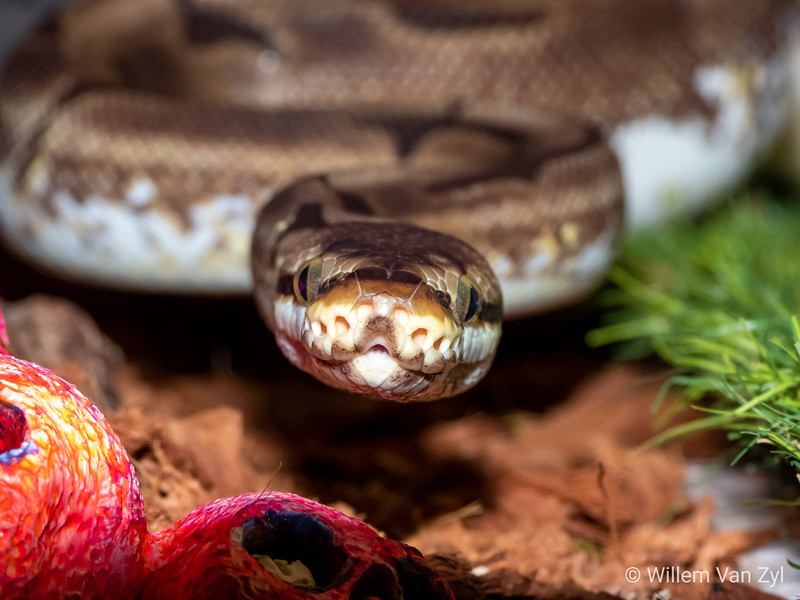20200229 Ball Python Spider Pattern (Python regius) from Private Collection