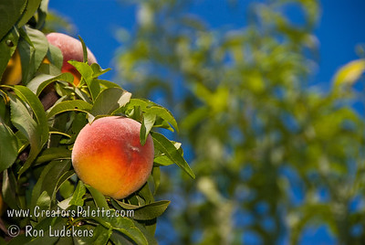 La Feliciana Peach - Prunus persica sp.
