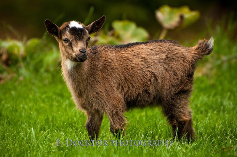 1310_Nigerian dwarf goats_092.jpg