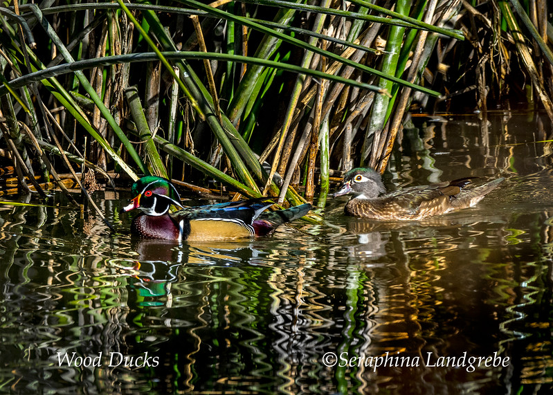 _DSC5047Wood duck pair.jpg